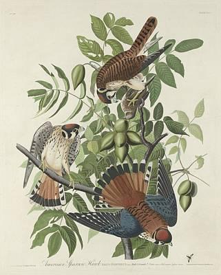 American Sparrow Hawk Poster by Rob Dreyer