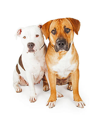 American Staffordshire And Large Mixed Breed Dogs Sitting Togeth Poster by Susan Schmitz