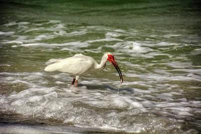 American White Ibis Poster