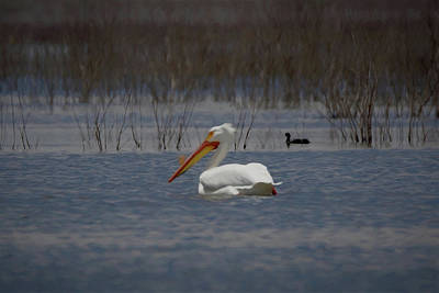 American White Pelican Searching Da Poster by Ernie Echols