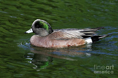 American Wigeon Anas Americana Duck Poster