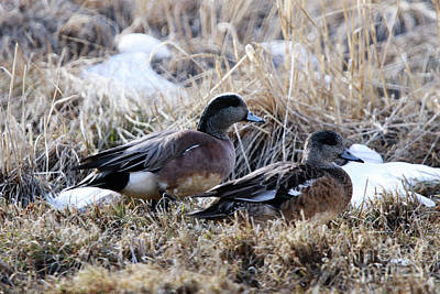 American Wigeon Mated Pair Poster