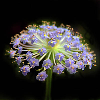 Amethyst Allium Poster by Jessica Jenney
