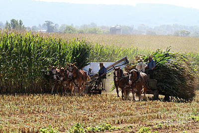 Amish Men Harvesting Corn Poster