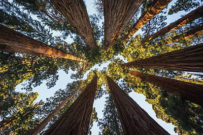 Amongst The Giant Sequoias Poster by Alpha Wanderlust