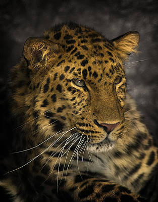 Amur Leopard Poster by John Dickson