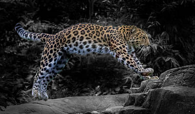 Amur Leopard On The Hunt Poster by Martin Newman