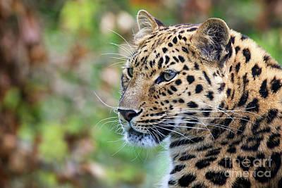 Amur Leopard Portrait Poster by Jane Rix