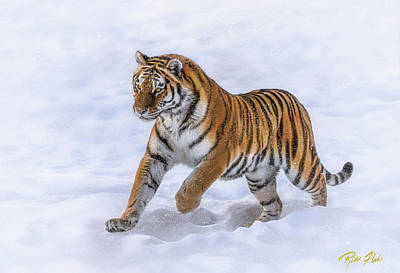 Poster featuring the photograph Amur Tiger Running In Snow by Rikk Flohr