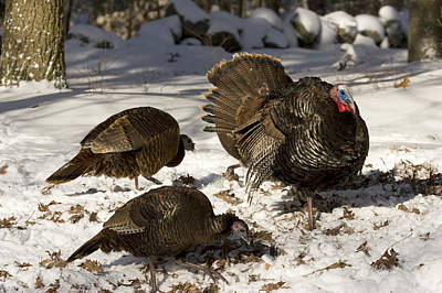 An Adult Male Wild Turkey Meleagris Poster