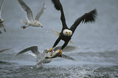 An American Bald Eagle Grabs A Fish Poster