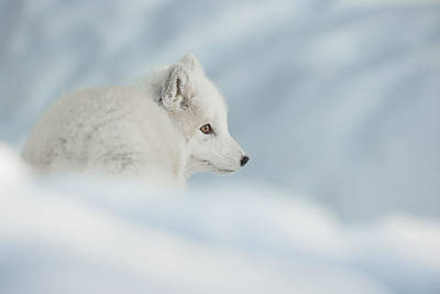 An Arctic Fox In Snow. Poster by Andy Astbury