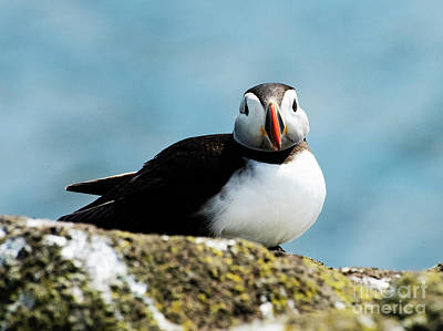 An Atlantic Puffin Poster
