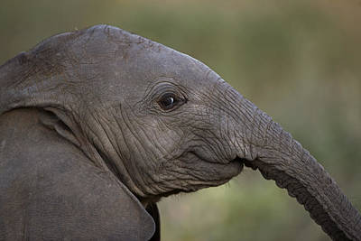 An Eight-month-old Elephant Calf Poster
