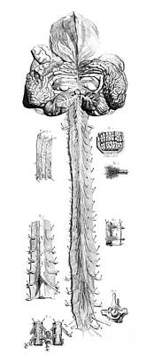 Anatomia Humani Corporis, Table 10, 1690 Poster by Science Source