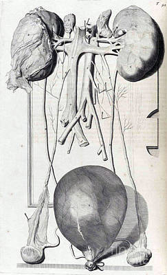Anatomia Humani Corporis, Table 42, 1690 Poster by Science Source