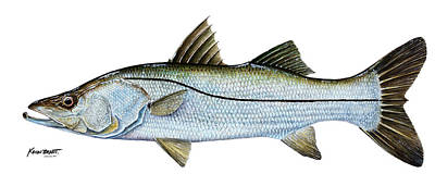 Anatomical Snook Poster by Kevin Brant