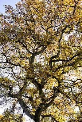Ancient Autumn Oak Poster
