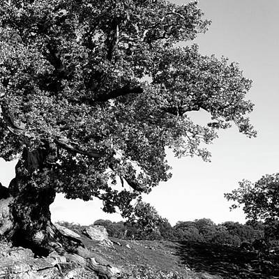 Ancient Oak, Bradgate Park Poster