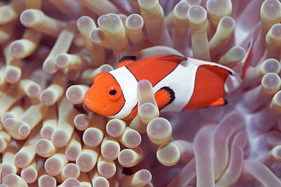 Anemone And Clown-fish Poster by MotHaiBaPhoto Prints