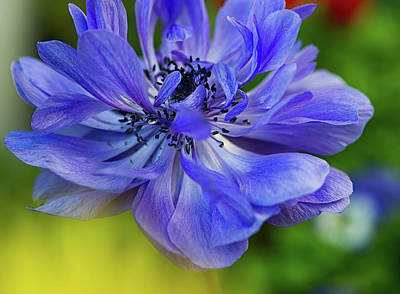 Anemone Blue Poster