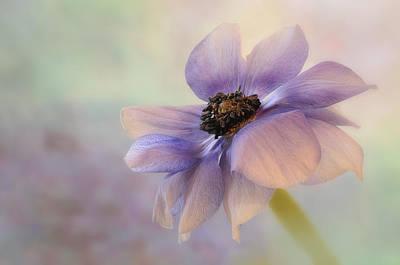 Anemone Flower Poster