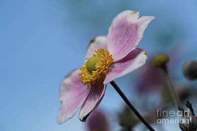 Anemone Tomentosa Flower Poster