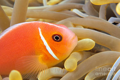 Anemonefish Poster by Dave Fleetham - Printscapes