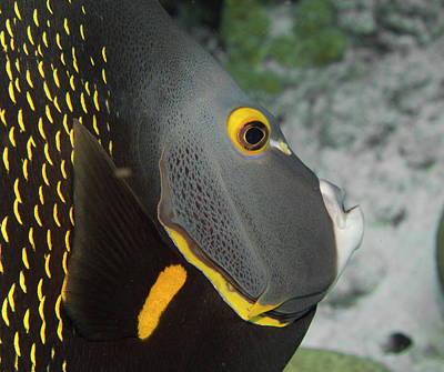 Angel Fish Profile Poster by Jean Noren