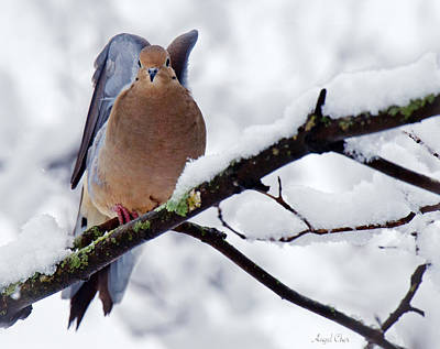 Poster featuring the photograph Angel Mourning Dove by Angel Cher