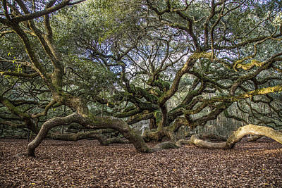 Angel Oak Tree From Behind Poster