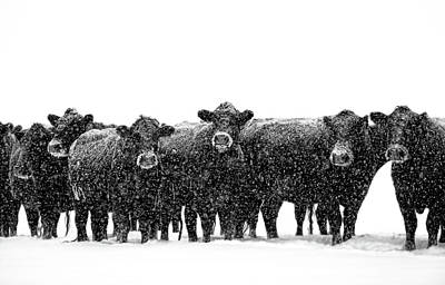 Frosty Faces Black Angus Cows Montana Poster by Jennie Marie Schell