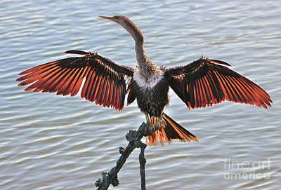 Anhinga In Full Color Poster by Paulette Thomas
