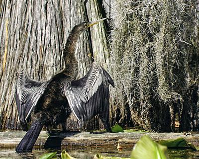 Anhinga Sunbathing In The Swamp Poster