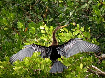 Anhinga With Silver Wings Poster by Rosalie Scanlon