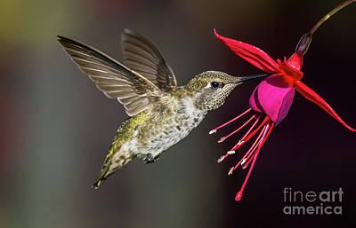 Anna Immature Hummingbird Poster