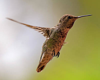 Poster featuring the photograph Anna's Hummingbird H24 by Mark Myhaver