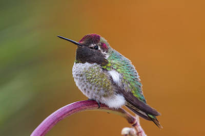 Anna's Hummingbird Poster by Jim and Lynne Weber