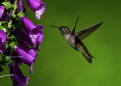 Poster featuring the photograph Anna's Hummingbird With Fox Glove Flowers by Lara Ellis
