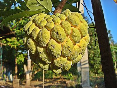 Annona Fruit Found In Thailand Poster by Wichit Phaephun