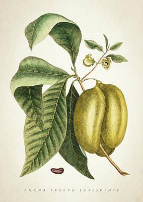 Anona Fructu Lutescente Botanical  Poster