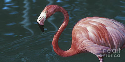 Another Tickled Pink Flamingo  Poster