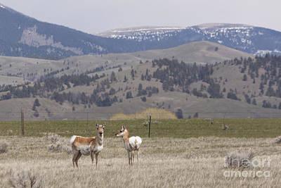 Antelope Poster by Carolyn Brown