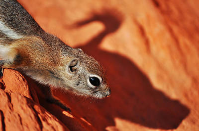 Antelope Ground Squirrel II Poster