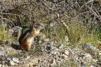 Antelope Ground Squirrel In Red Rock National Conservation Area-nevada Poster