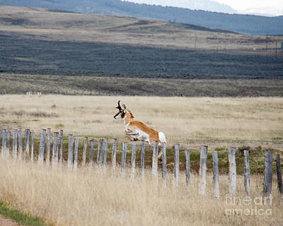 Poster featuring the photograph Antelope Jumping Fence 1 by Rebecca Margraf