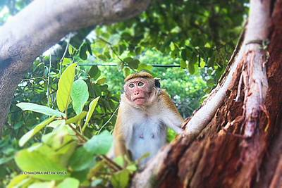 Anticipating Monkey Poster by Chandima Weeratunga