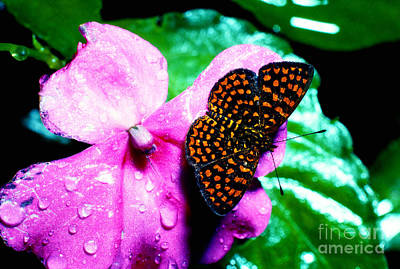 Antillean Crescent Butterfly On Impatiens Poster by Thomas R Fletcher