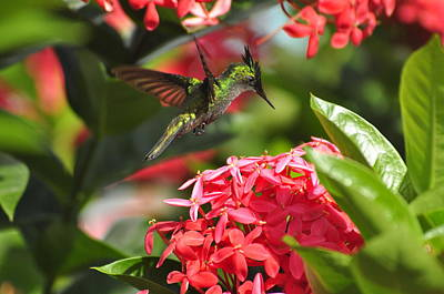 Antillean Crested Hummingbird Poster by Michael Dyer