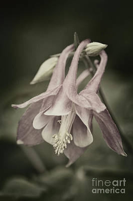 Poster featuring the photograph Antique Columbine - D010096 by Daniel Dempster
